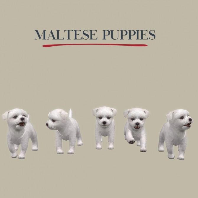 Sims 4 Maltese Puppies at Leo Sims