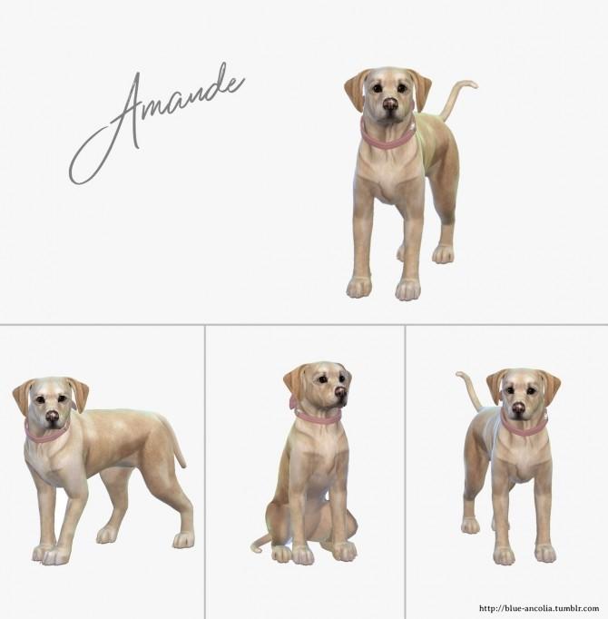 Sims 4 Amande puppy labrador at Blue Ancolia