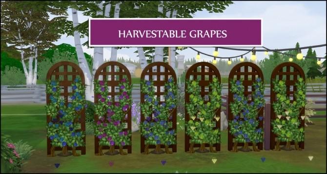 HARVESTABLE GRAPES 6 VARIETIES at Icemunmun image 2881 670x358 Sims 4 Updates