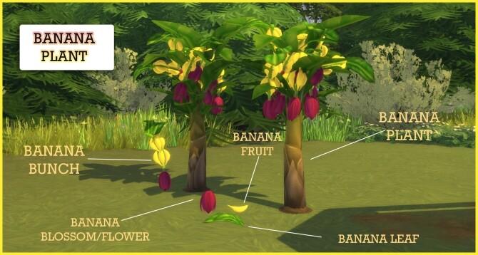 HARVESTABLE BANANA PLANT