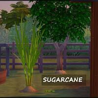 Harvestable Sugarcane
